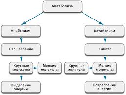 Метаболизм состоит из процессов