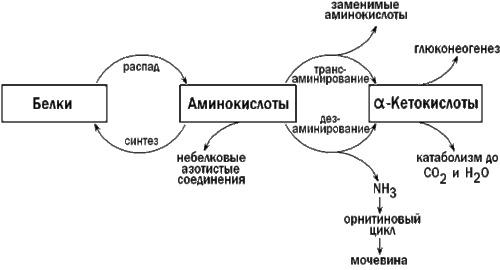 Метаболизм белков в организме